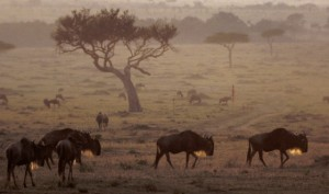 long-wildebeeste-in-sunrise