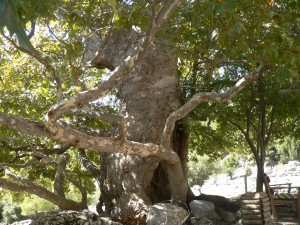 Sappho tree